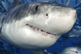 Как применять акулий жир – вред и польза