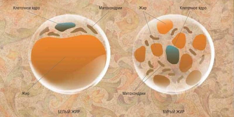 бурый жир в организме