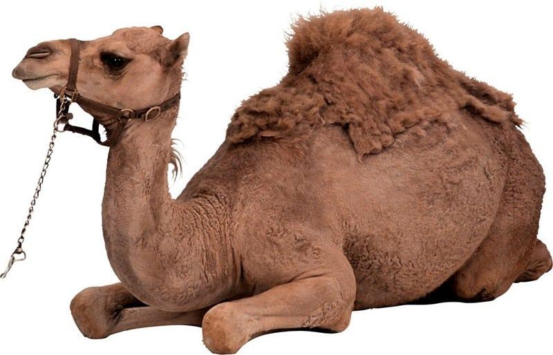 жир верблюда польза