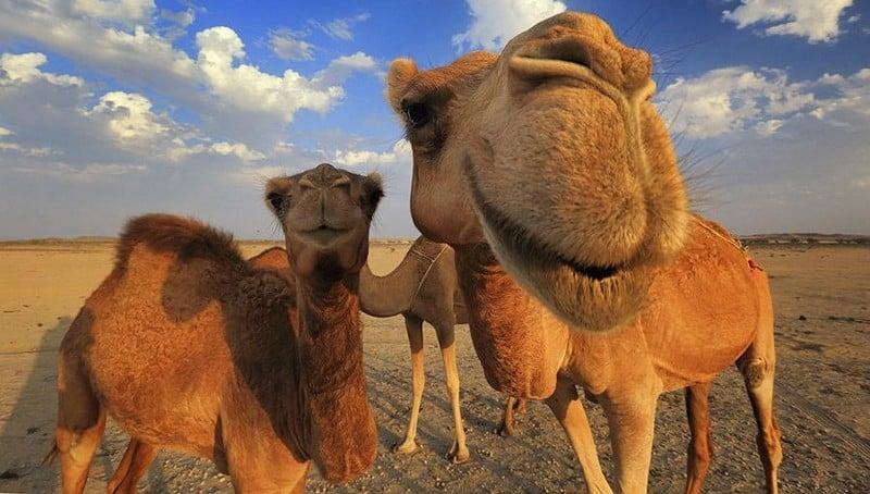 польза верблюжьего жира